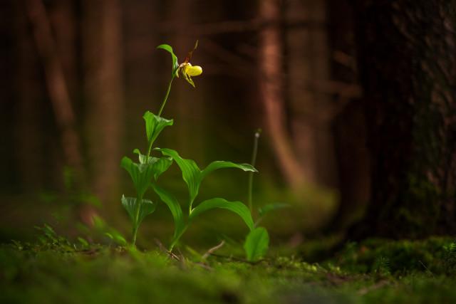Frauenschuh im Hüfinger Orchideenwald