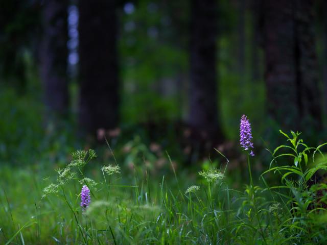 Schweizerwald mit Fuchs-Knabenkraut