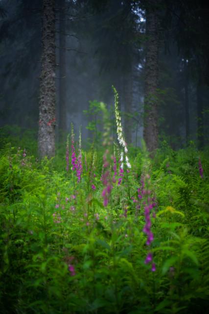 Wald mit Fingerhut